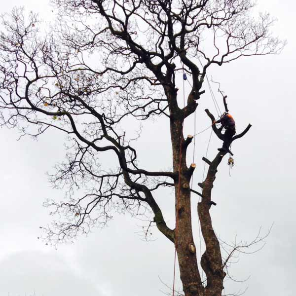 tree maintenance services fife